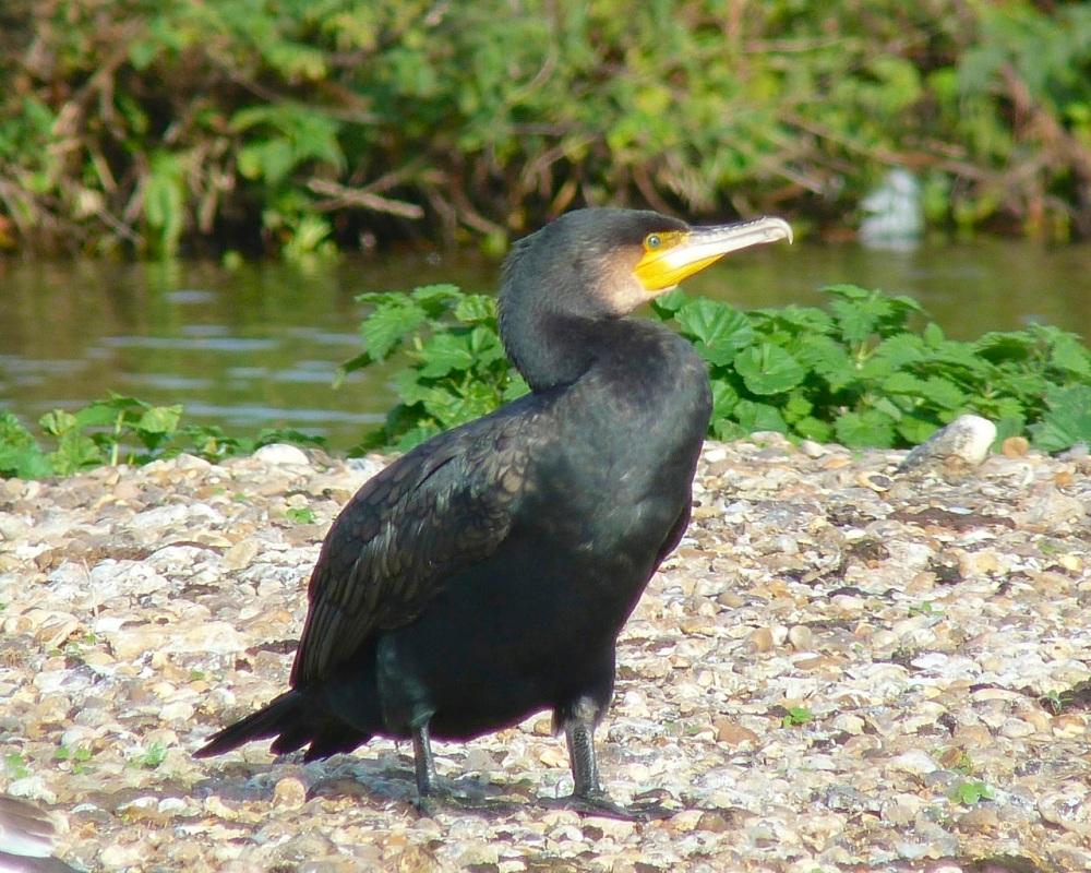 Cormorant WWT 1