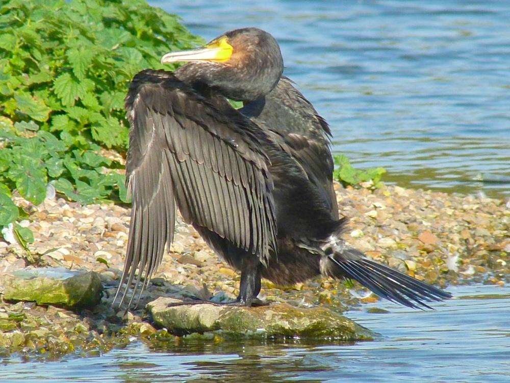 Cormorant WWT 10