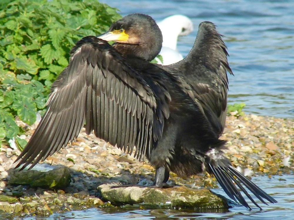 Cormorant WWT 11