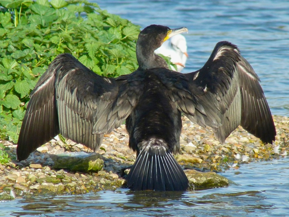 Cormorant WWT 12