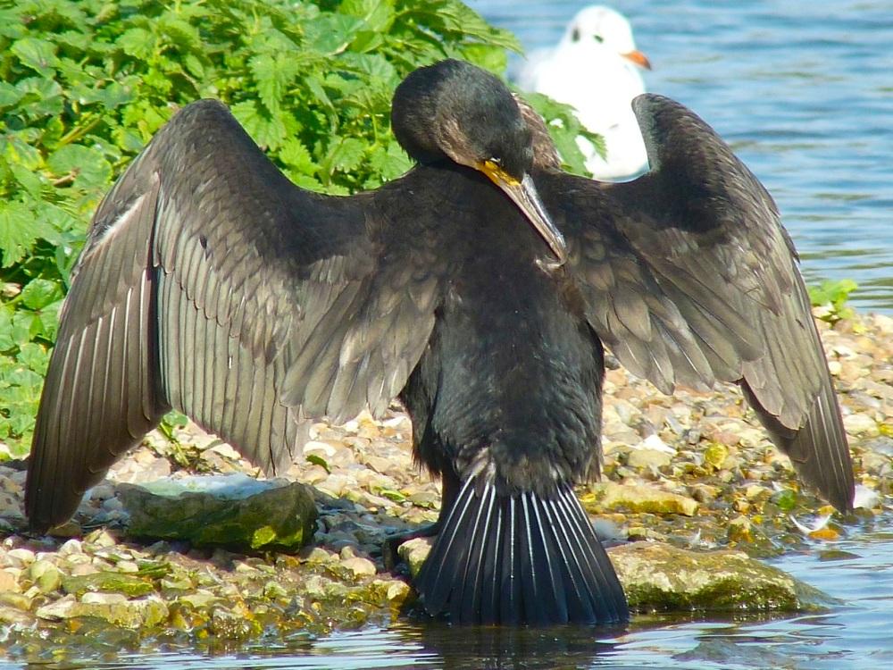 Cormorant WWT 13