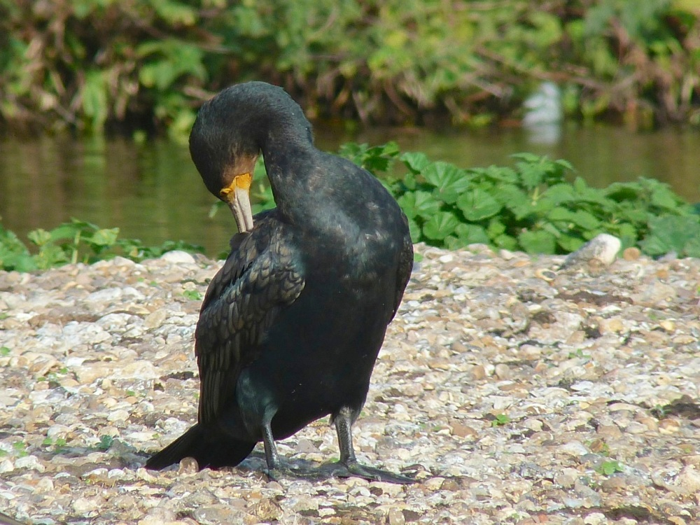 Cormorant WWT 5