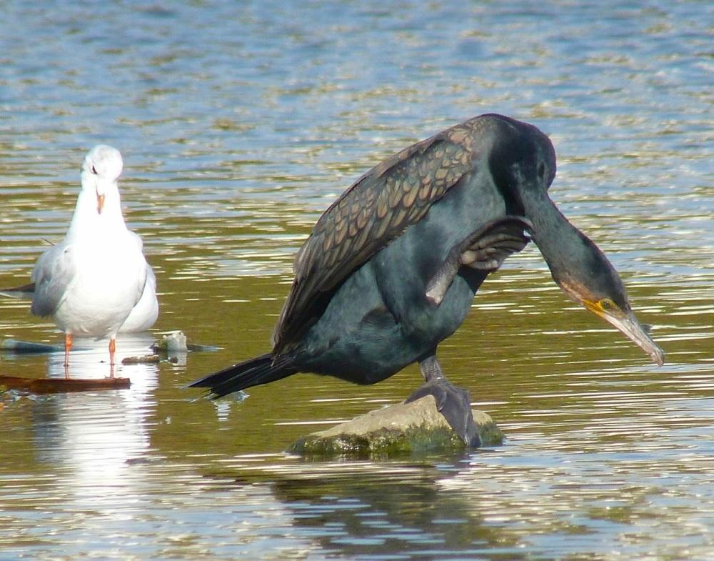 Cormorant WWT 6