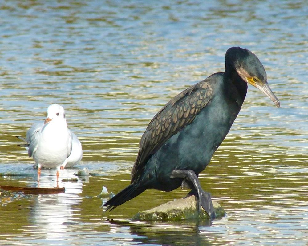 Cormorant WWT 7