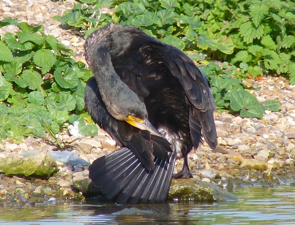 Cormorant WWT 9