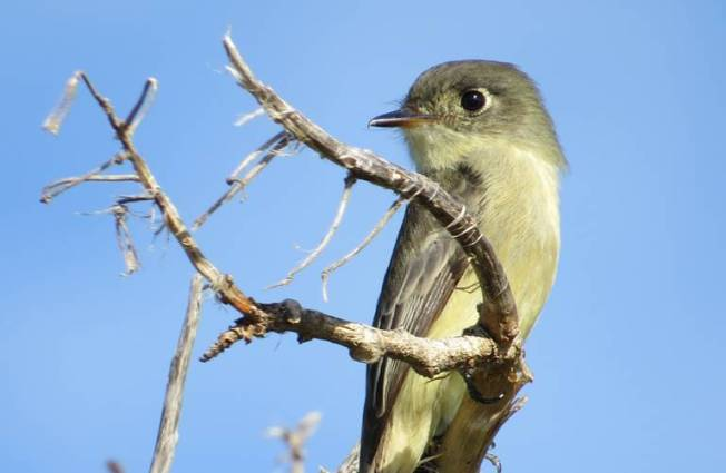 Cuban Pewee, Abaco (Becky Marvil)