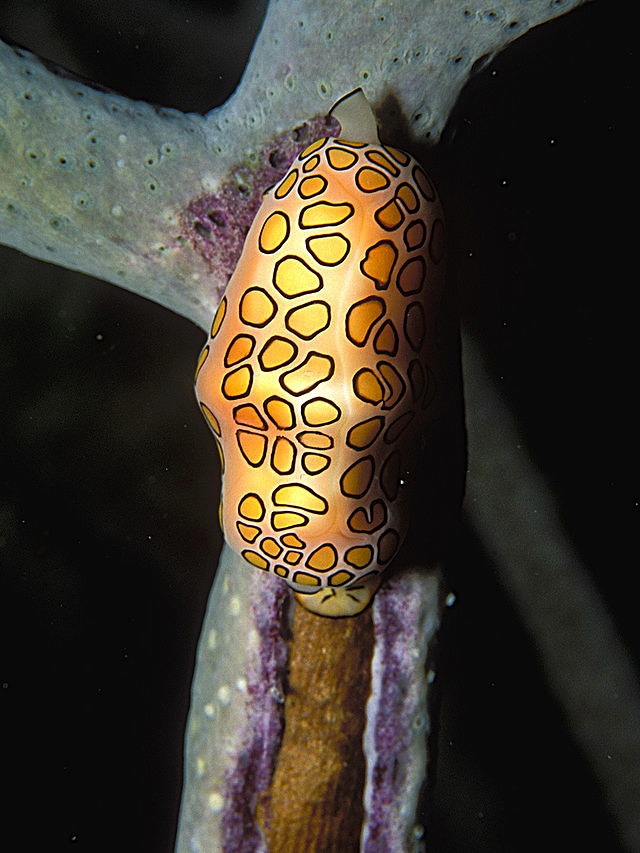 Flamingo Tongue LASZLO ILYES Cyphoma_gibbosum_(living)_2