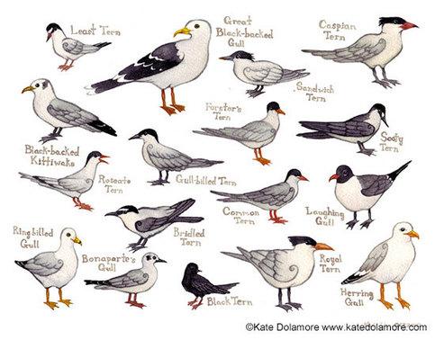 Gull & Tern ID Kate Dolamore