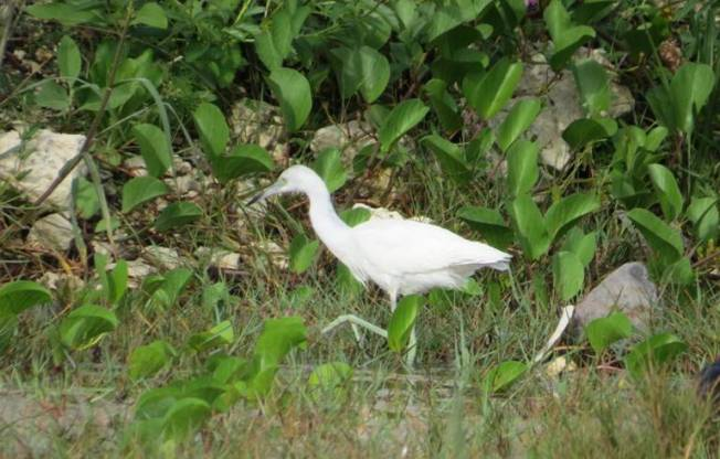 Little Blue Heron (juv), Abaco (Becky Marvil)