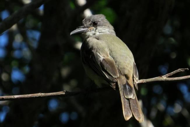 Loggerhead Kingbird, Abaco (Becky Marvil)