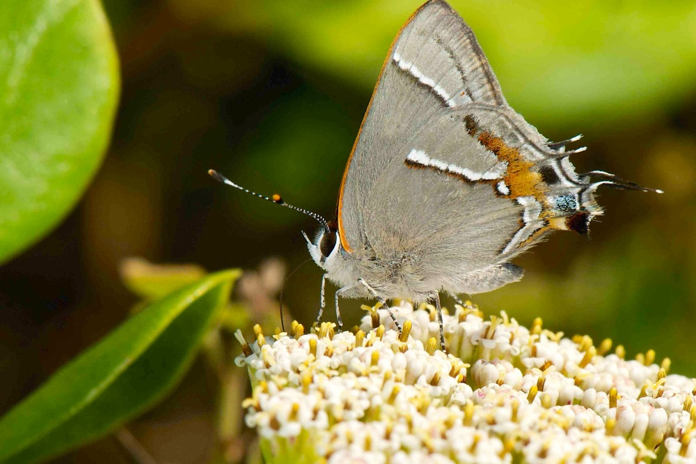 Martial Scrub-Hairstreak Strymon martialis (Nina Henry) 2 sm