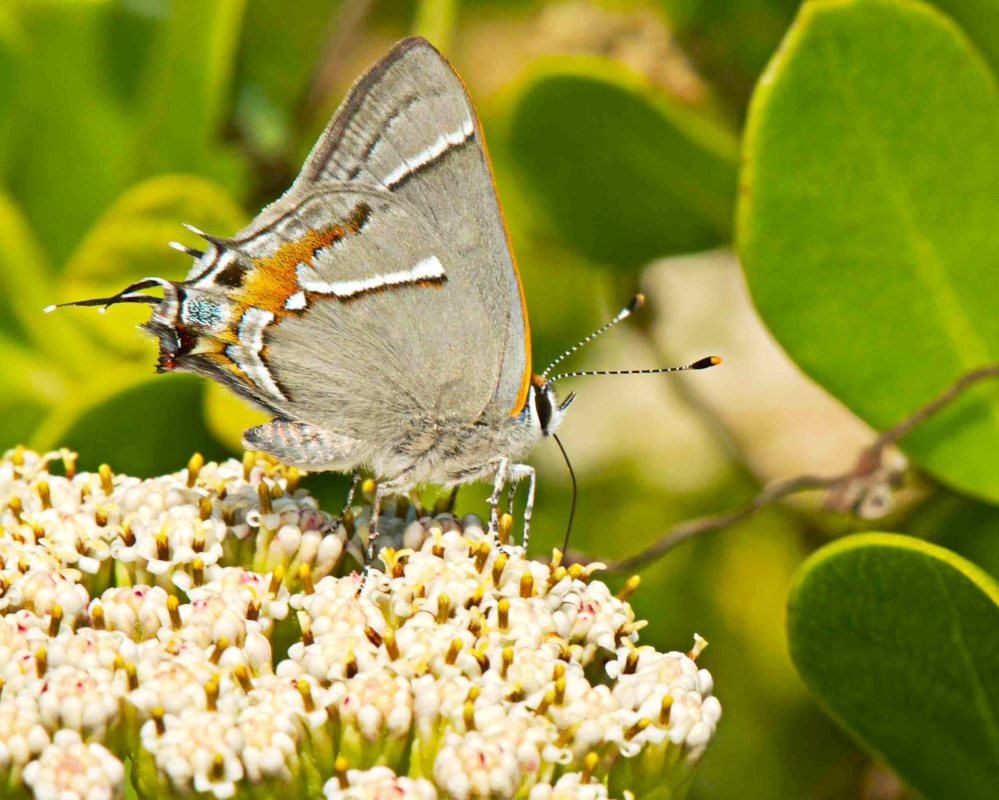 Martial Scrub-Hairstreak Strymon martialis (Nina Henry) 3 sm