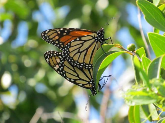 Monarch Butterflies Mating, Abaco (Becky Marvil)