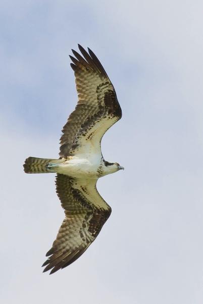 Osprey, Abaco (Craig Nash)