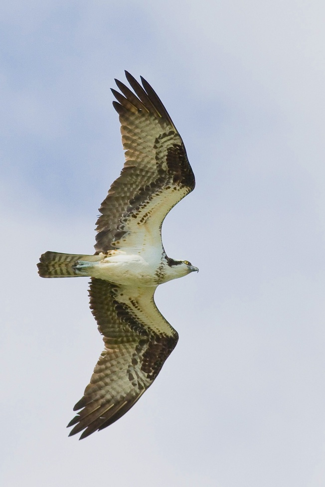Osprey, Abaco (Craig Nash) copy