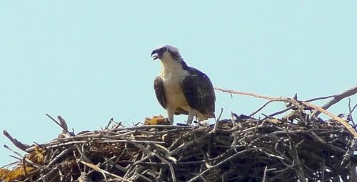 Osprey, Abaco (Jim Todd 2)