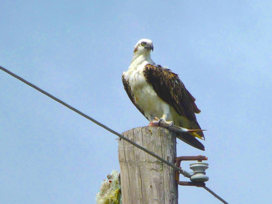 Osprey, Abaco (Woody Bracey) copy