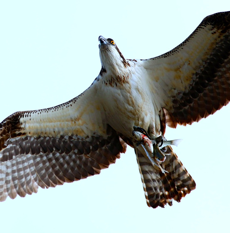 osprey-flight-with-two-fish-03