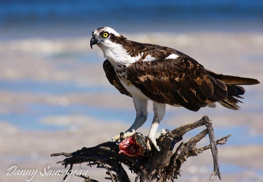 Osprey, Florida (Danny Sauvageau)
