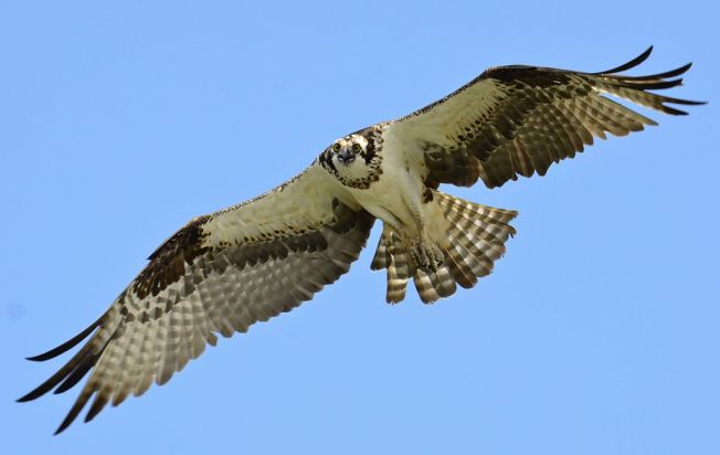 Osprey in flight (Lake Wylie, S Carolina) - Gareth Rasberry