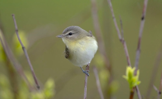 Philadelphia Vireo William H. Majoros wiki
