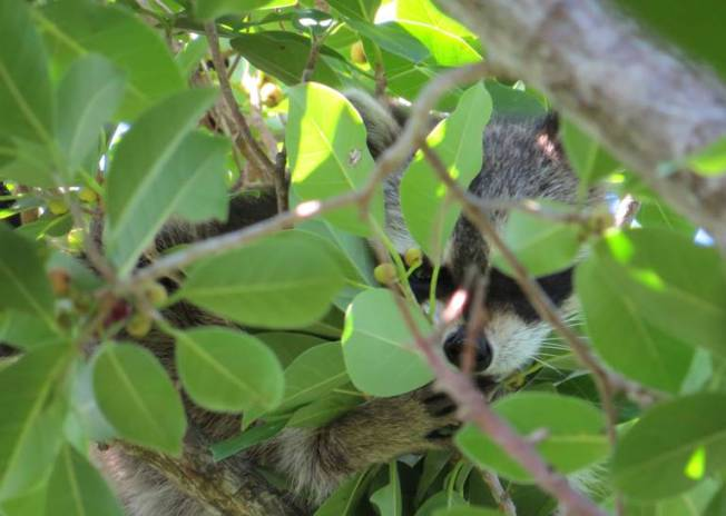 Raccoon, Abaco (Becky Marvil)