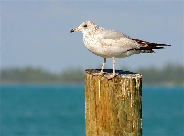 Ring-billed Gull (1st winter), Abaco (Bruce Hallett)