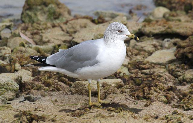 Ring-billed Gull, Abaco (Bruce Hallett)