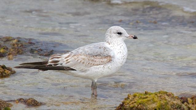 Ring-billed Gull (juv), Abaco (Bruce Hallett)