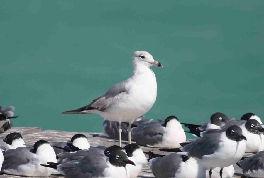 Ring-billed Gull + Laughing Gulls, Abaco (Peter Mantle)