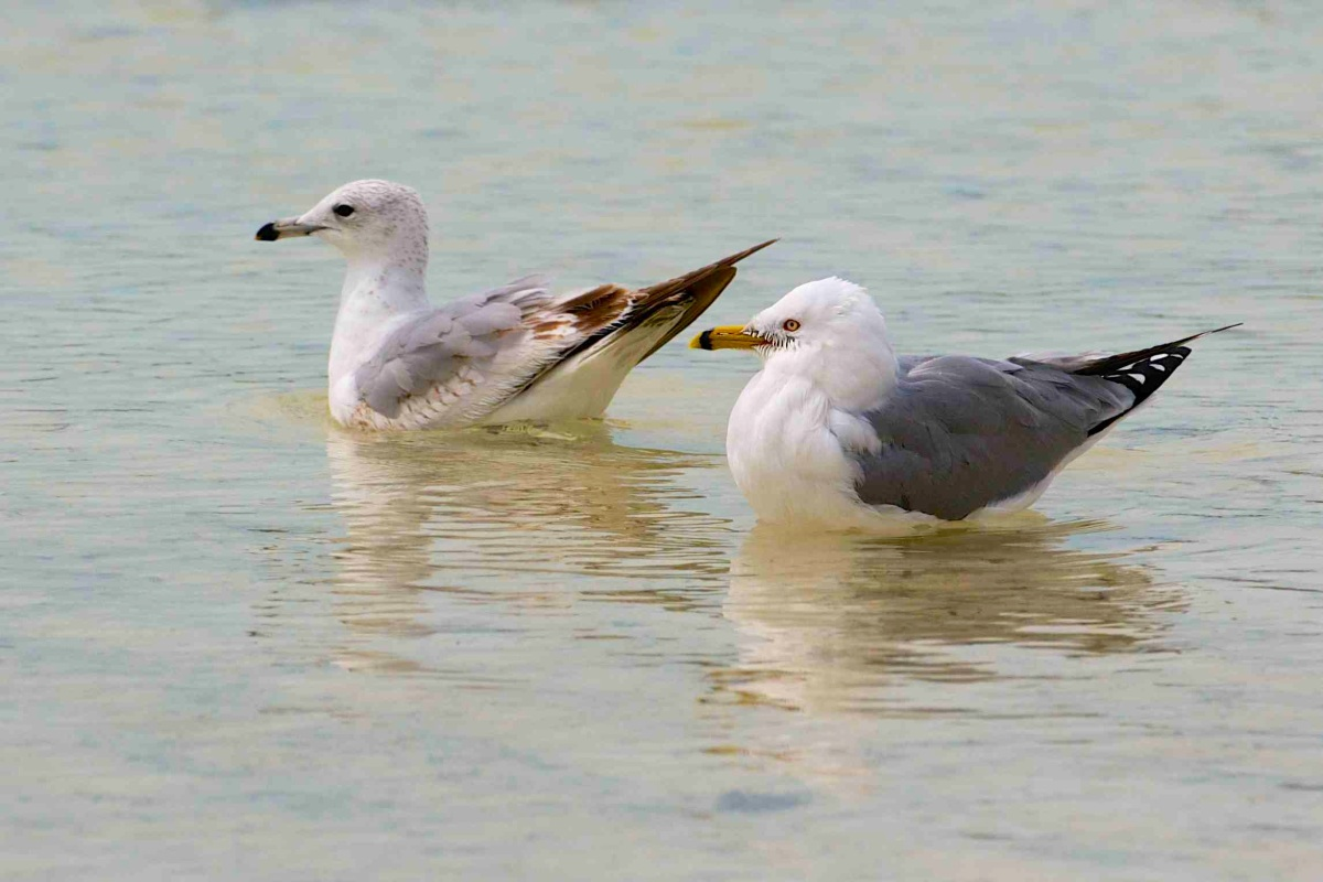 Ring-Billed Gull, Abaco (Nina Henry)