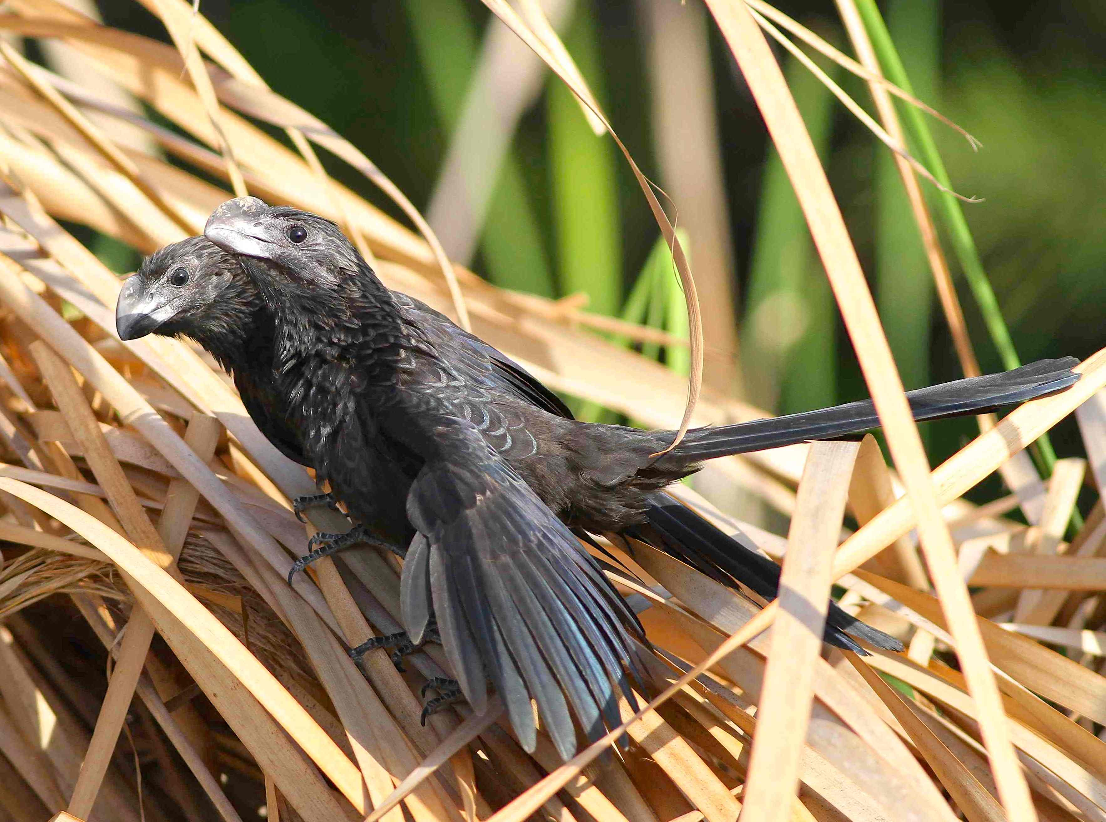 Smooth-billed Ani Pair, Abaco Bahamas (Gerlinde Taurer / Birds of Abaco)