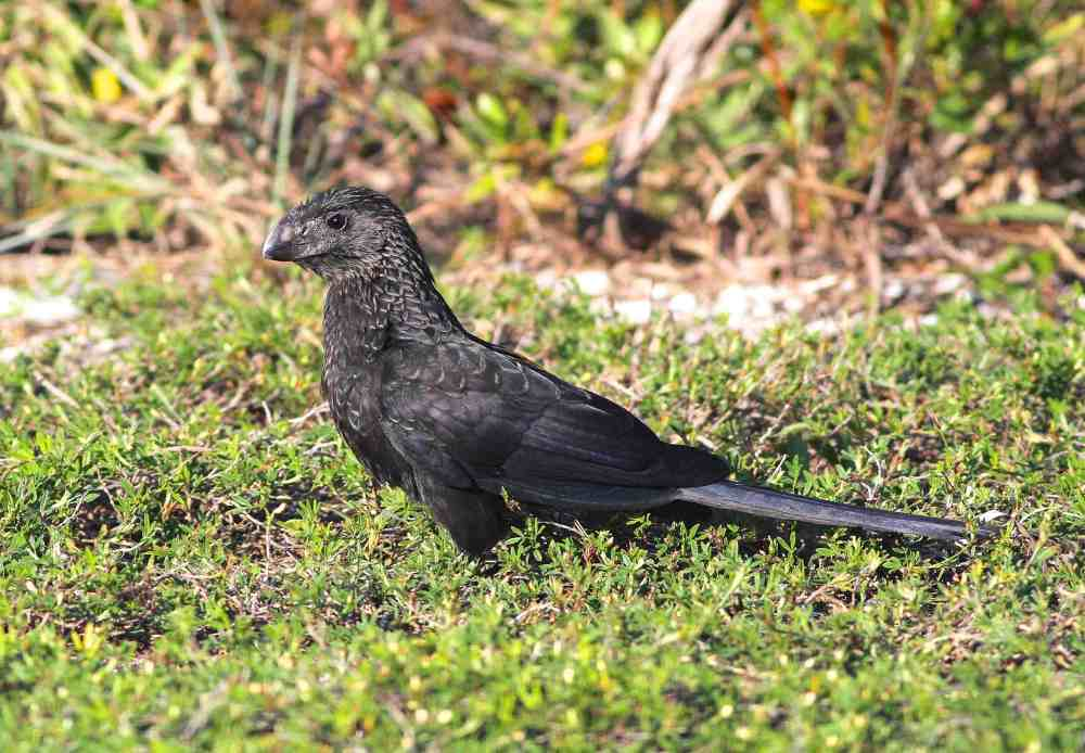 Smooth-billed Ani, Abaco. Gerlinde Taurer c