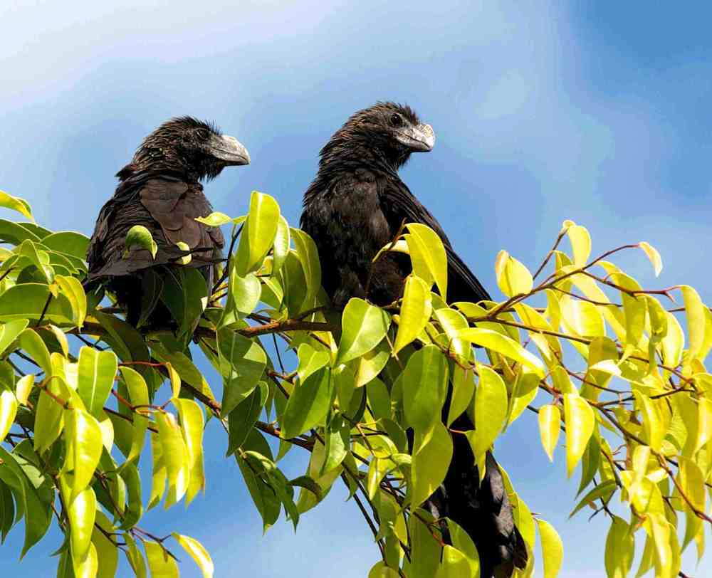 Smooth Billed Ani, Abaco - Nina Henry 2a