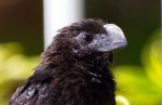 Smooth-billed Ani, Abaco - Roselyn Pierce