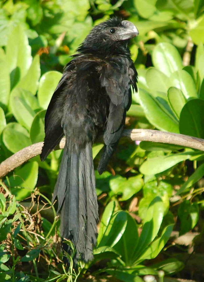 Smooth-billed Ani, TCGC Hole 11 - Becky Marvil