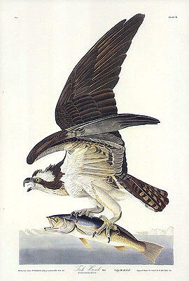 Osprey - John James Audubon