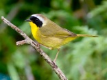 800px-Common_Yellowthroat_by_Dan_Pancamo