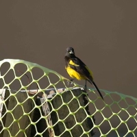 BAHAMA ORIOLE: ABACO'S LOST ENDEMIC SPECIES