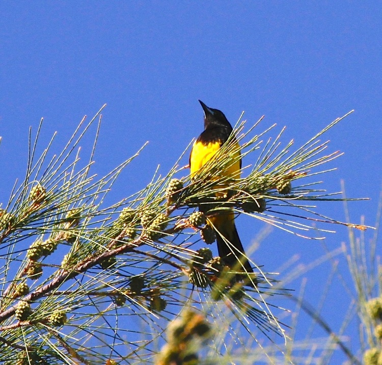 Bahama Oriole - Harold Brewer (via PM) - Version 3