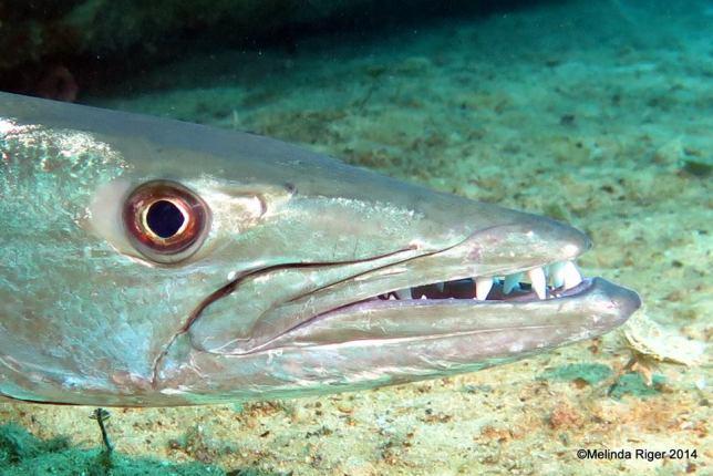 Barracuda - Melinda Riger / Grand Bahama Scuba