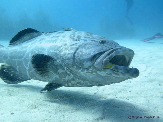 Black Grouper (Arthur) ©Virginia Cooper @ G B Scuba