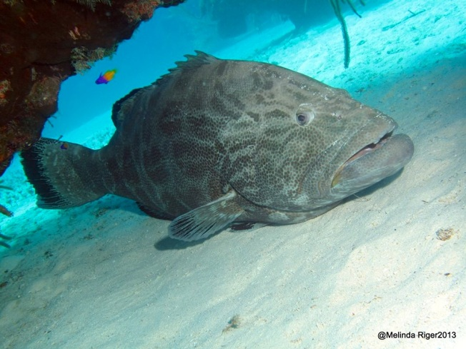 Black Grouper © Melinda Riger @ G B Scuba copy