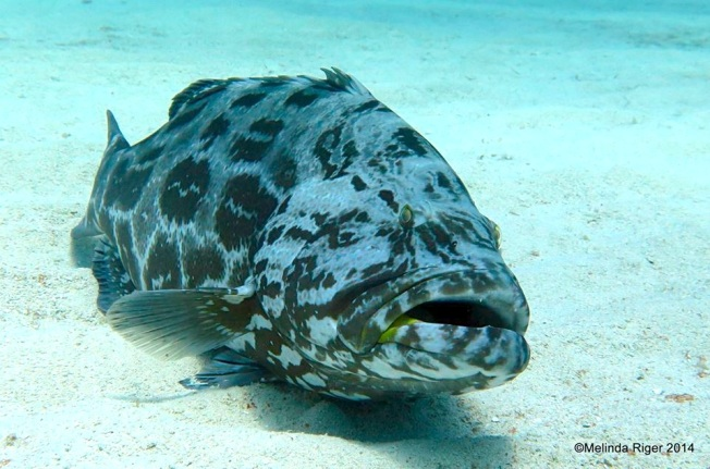 Black Grouper ©Melinda Riger @ G B Scuba copy
