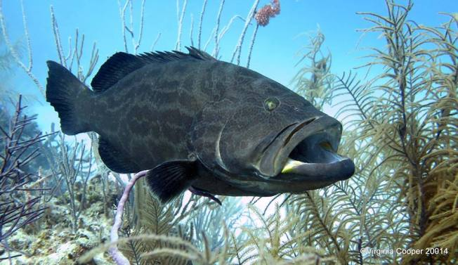 Black Grouper ©Virginia Cooper @ G B Scuba