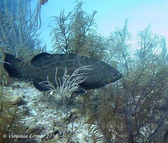 Black Grouper ed ©Virginia Cooper @ G B Scuba 2