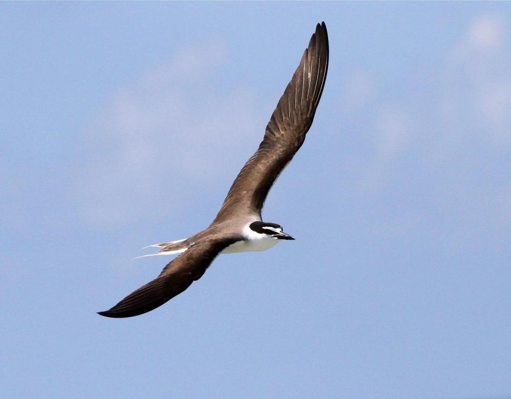 Bridled Tern, Abaco Bruce Hallett 1