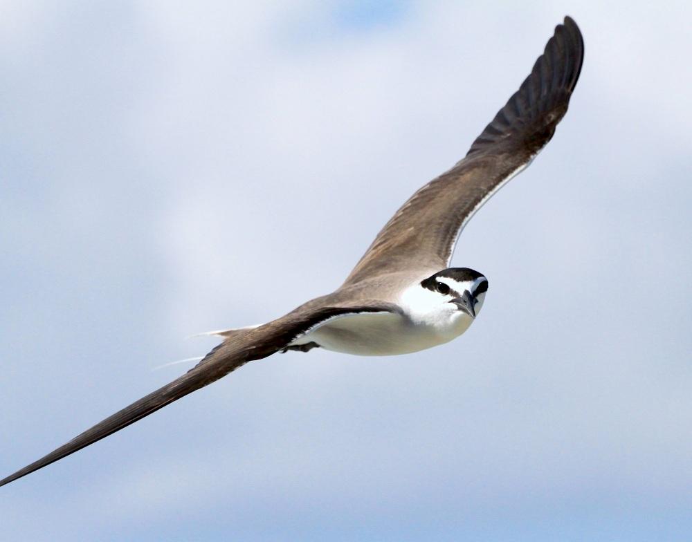 Bridled Tern, Abaco Bruce Hallett 2