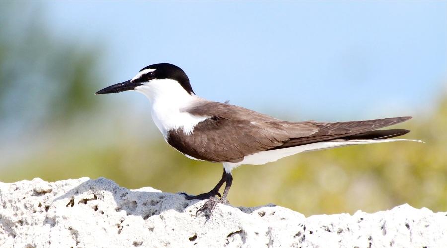 Bridled Tern, Abaco Bahamas (Bruce Hallett)