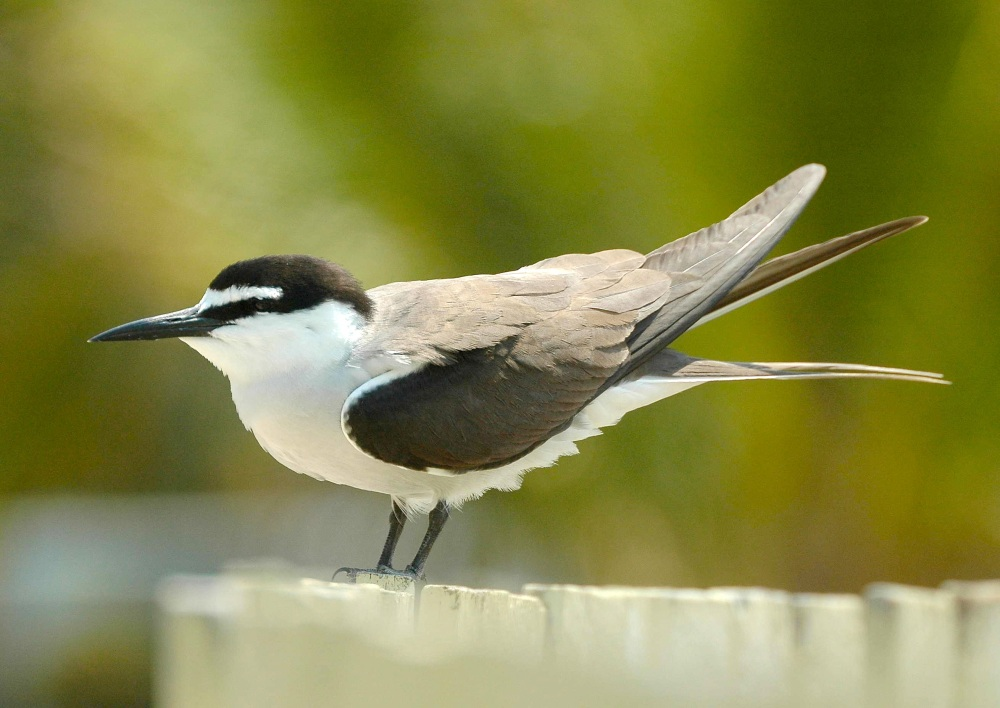 Bridled_Tern (Aviceda Wiki)